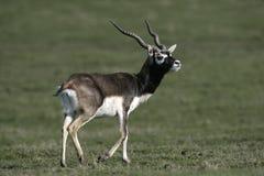 Blackbuck, cervicapra Antilope Στοκ φωτογραφίες με δικαίωμα ελεύθερης χρήσης