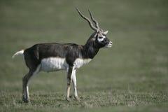 Blackbuck, cervicapra Antilope Στοκ φωτογραφία με δικαίωμα ελεύθερης χρήσης