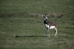 Blackbuck, cervicapra Antilope Στοκ Εικόνες