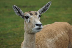 Blackbuck - cervicapra Antilope Στοκ εικόνες με δικαίωμα ελεύθερης χρήσης
