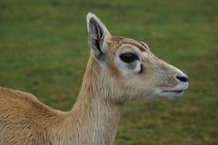 Blackbuck - cervicapra Antilope Στοκ Φωτογραφία