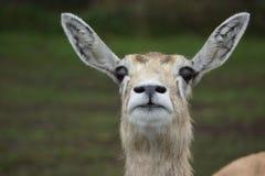 Blackbuck - cervicapra Antilope Στοκ φωτογραφία με δικαίωμα ελεύθερης χρήσης