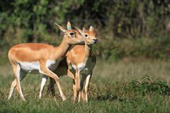 Blackbuck couple Stock Photo