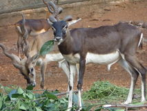 Blackbuck dans le ZOO de Trivandrum Photographie stock libre de droits