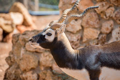 Blackbuck, das in Nationalpark geht Lizenzfreies Stockbild