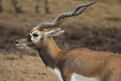 Blackbuck deer Royalty Free Stock Photography