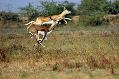 Blackbuck Duo in Jumping air. Blackbucks are famous for their jumping in air while they are running. This duo captured by me when they are running stock image