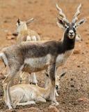 Blackbuck family Royalty Free Stock Photo