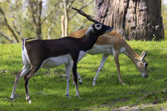 Blackbuck gazelle Stock Photos