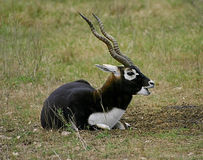 Blackbuck. A blackbuck grazes on the Kalahari Royalty Free Stock Image