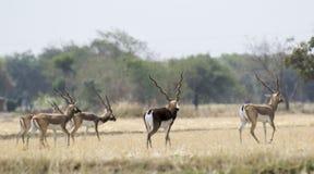 Blackbuck Herd Stock Images