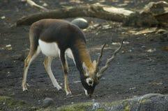 Blackbuck. A blackbuck or indian antelope eating stock photos