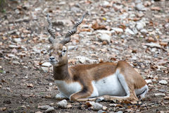 Blackbuck or Indian antelope resting on the ground. stock photography
