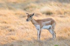 Blackbuck kalv Royaltyfria Bilder