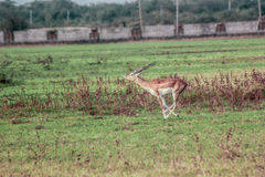 Blackbuck leaping Royalty Free Stock Photography