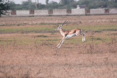 Blackbuck leaping Royalty Free Stock Photos