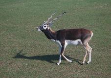 Blackbuck. Males are larger than females Stock Photography