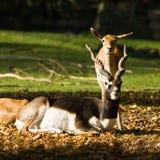 Blackbuck o antilope indiano immagine stock libera da diritti