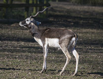 Blackbuck with one antler Stock Image