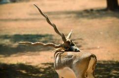 Blackbuck som ansar tid royaltyfri bild