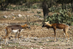 Blackbuck Standoff 3 Stock Photo