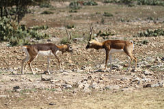 Blackbuck Standoff 4 Royalty Free Stock Photo