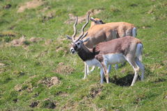 Blackbuck Royalty Free Stock Images