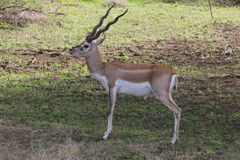 Blackbuck. Is an ungulate species of antelope endemic to the Indian subcontinent and falls in the category of Near Threatened. s are the only living species of Stock Image