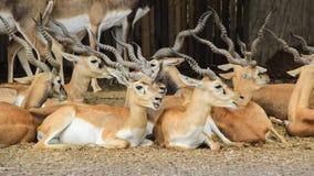 Blackbucks, antilopi indiane indica su terra immagine stock libera da diritti