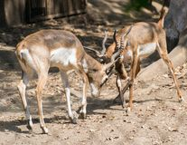 Blackbucks Males Fighting. Blackbucks Antilope cervicapra Males Fighting in the field with their antlers royalty free stock image