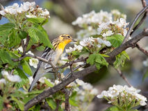 Blackburnian鸣鸟和苹果开花 免版税库存图片