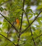 Blackburnian Warbler Royalty Free Stock Image
