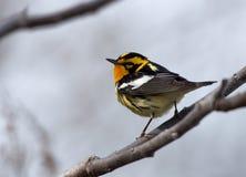 blackburnian warbler Стоковое Изображение RF