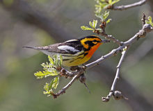 blackburnian warbler Стоковое фото RF