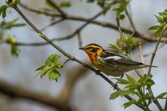 blackburnian warbler Стоковое Изображение
