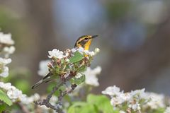 Blackburnian warbler in an apple blossoms. A blackburnian warbler, hides behind an apple blossom. Bright yellow head with black stripes stands out on from the royalty free stock images
