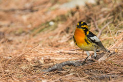 Blackburnian Warbler Stock Images