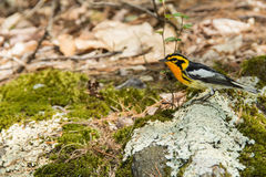 Blackburnian Warbler Stock Photo
