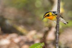 Blackburnian Warbler Royalty Free Stock Image