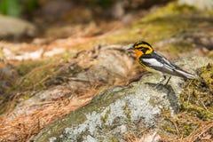 Blackburnian Warbler Stock Photos