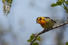 Blackburnian Warbler Stock Photography