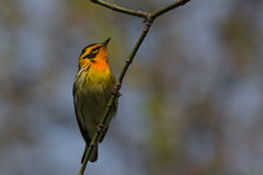 Blackburnian Warbler Royalty Free Stock Images