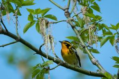 A warbler perches on a flowered tree at Magee Marsh in Ohio Stock Photography