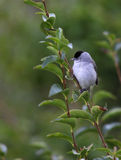 Blackcap. Stock Photo
