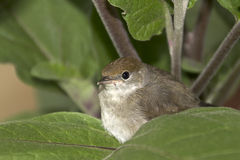 Blackcap Royalty Free Stock Image