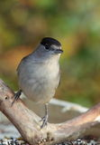 Blackcap bird. Stock Image