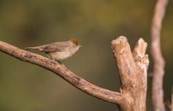 Blackcap bird on branch Stock Photos