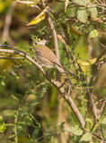 Blackcap bird in the thicket Royalty Free Stock Photos