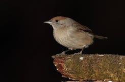 Blackcap bird. Royalty Free Stock Image