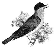 Blackcap bird vintage illustration. Blackcap warbler bird on tree branch, vintage illustration. Sourced from antique book The Playtime Naturalist by Dr. J.E Royalty Free Stock Photos